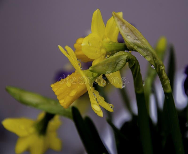 Цветок Daffodil стоковое фото rf