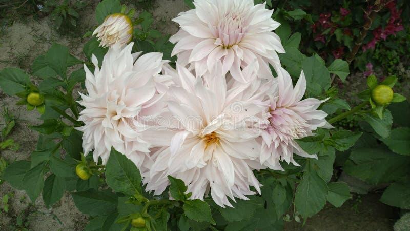 Цветок Daliya моего сада стоковое фото