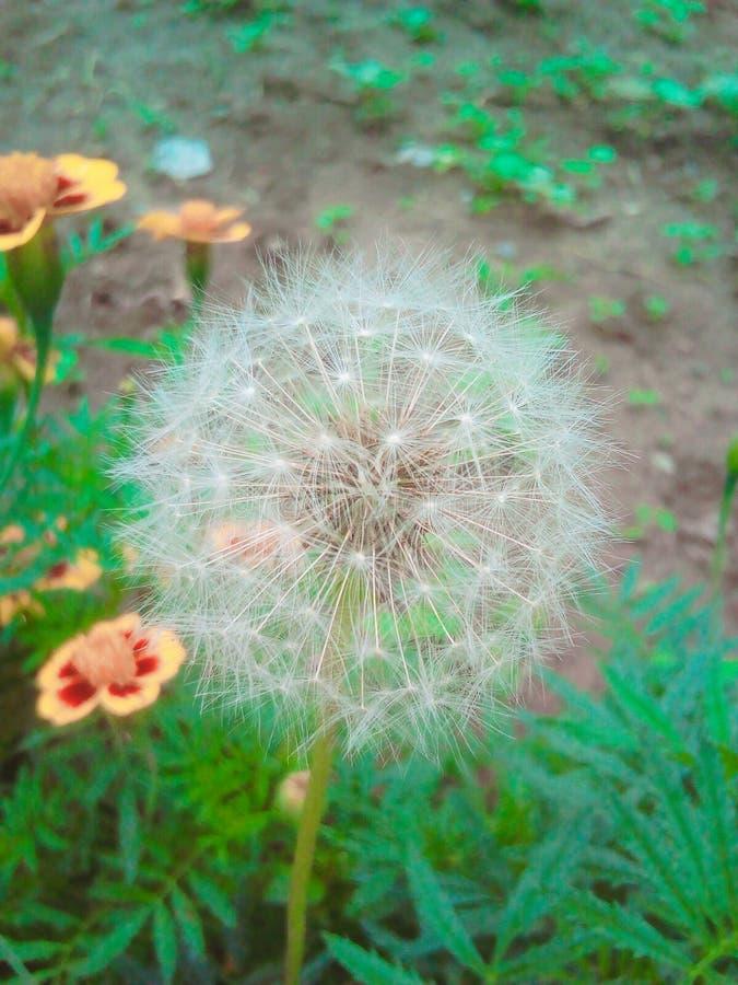 Цветок Dendelion стоковые изображения rf
