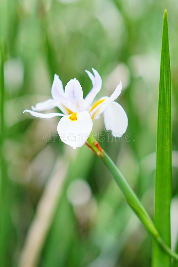 Цветок Dietes grandiflora стоковое изображение rf