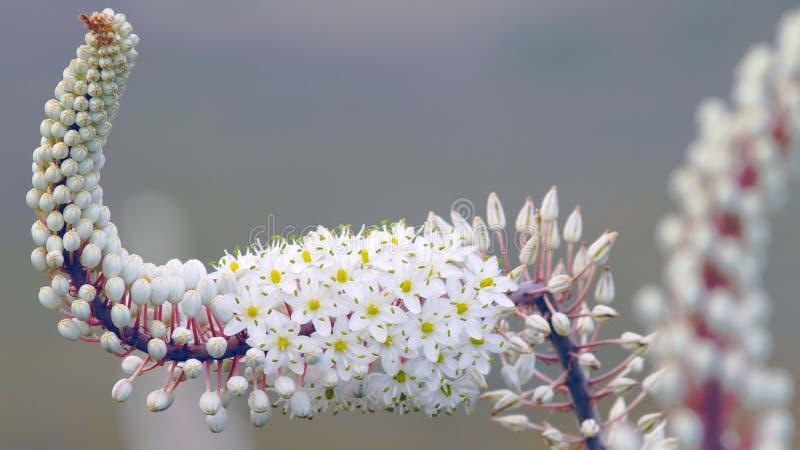 Цветок Drimia Maritima Squill моря стоковые изображения rf