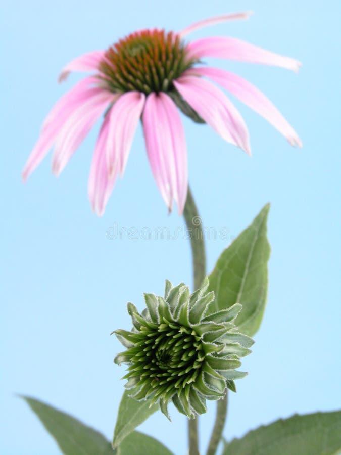 цветок echinacea стоковое изображение