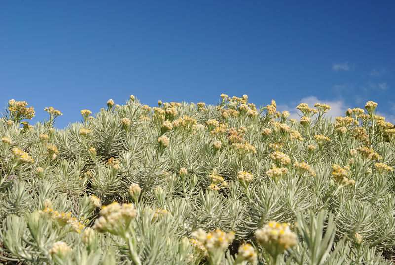 Цветок Edelweiss стоковое изображение