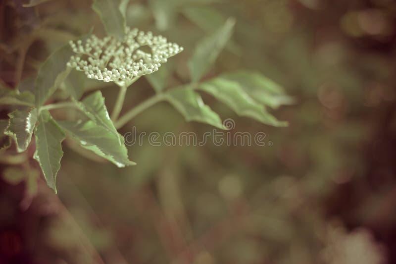 Цветок Elderberry стоковая фотография rf
