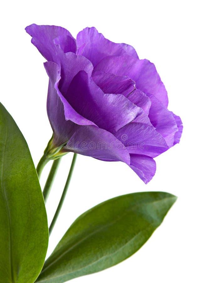 Цветок Eustoma стоковые изображения rf