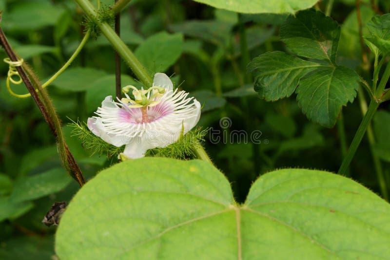 Цветок foetida пассифлоры в цветени на зеленой предпосылке листьев стоковое фото