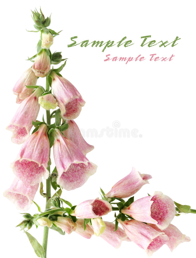 Цветок Foxgloves стоковое фото rf