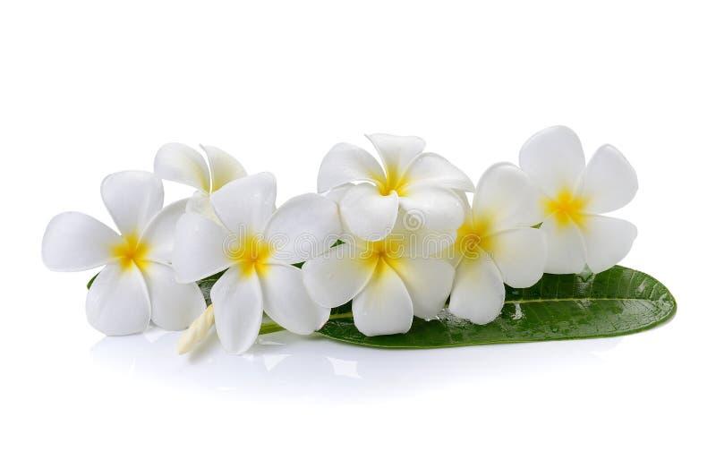 Цветок Frangipani на белой предпосылке стоковая фотография rf