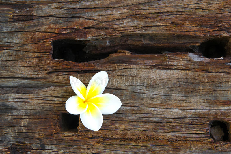 Цветок Frangipani на древесине стоковые изображения