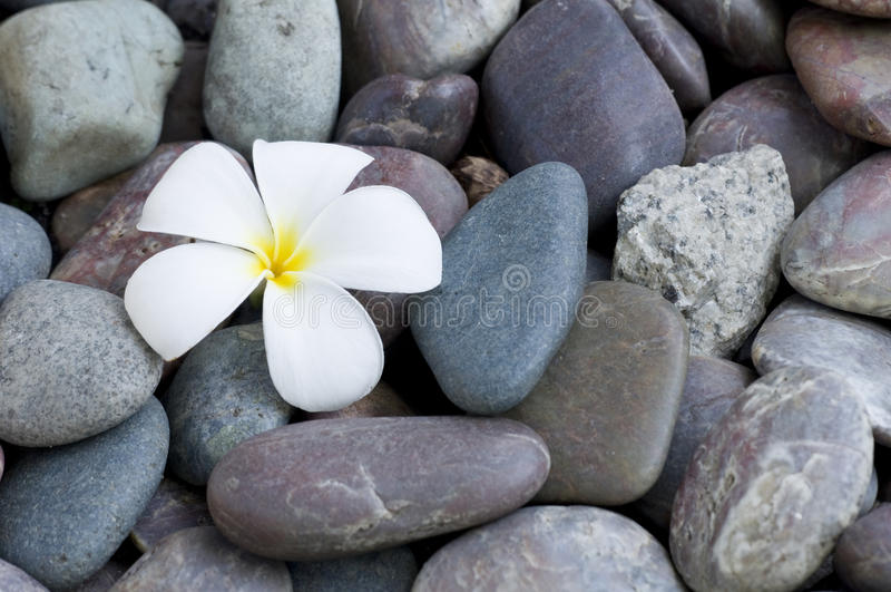 Цветок Frangipani на стоге стоковые изображения rf