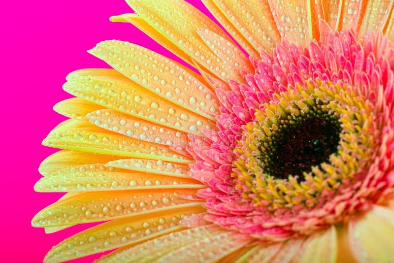 Цветок Gerbera Уellow стоковая фотография