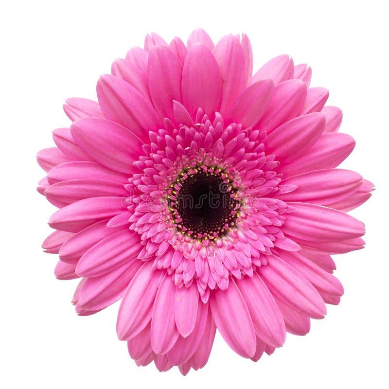 Цветок Gerbera изолированный на белой предпосылке стоковые фотографии rf