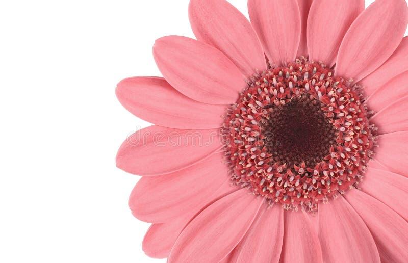 Цветок Gerbera с розовыми лепестками и сердцем на белизне изолировал предпосылку Картина для дизайнера стоковые изображения