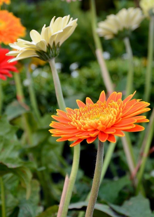Цветок Gerbera стоковые изображения rf