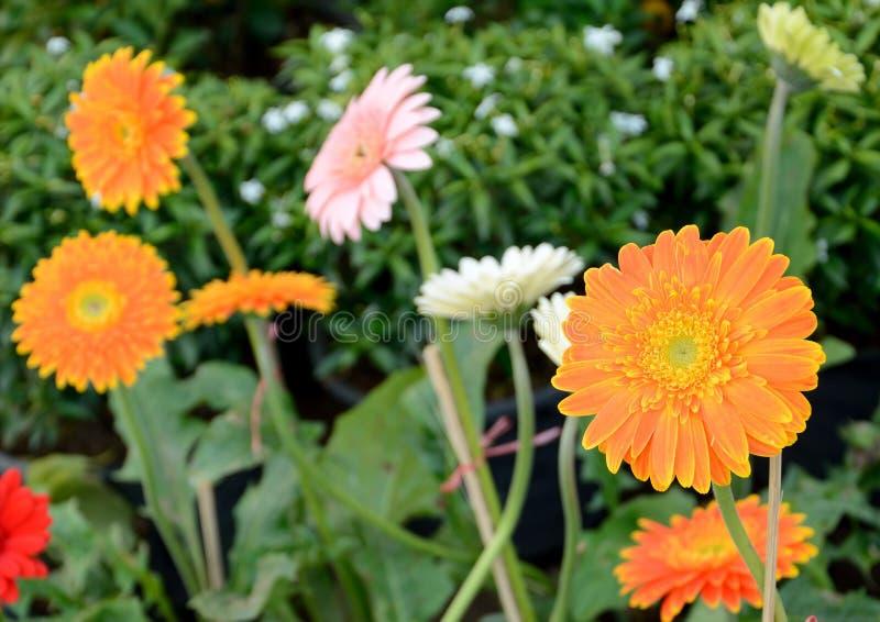 Цветок Gerbera стоковое изображение