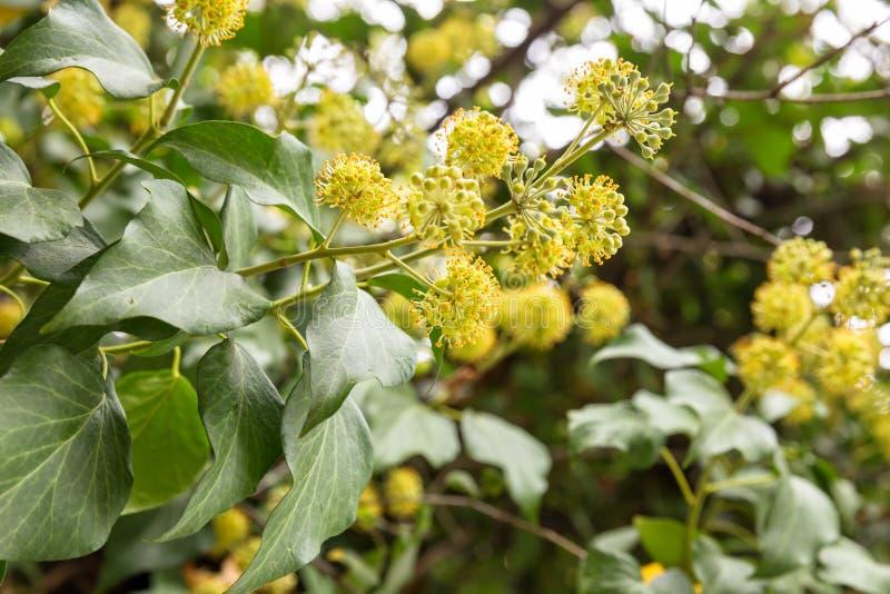 Цветок Hedera стоковые изображения rf