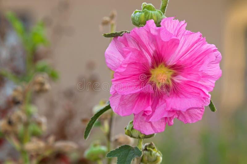 Цветок Hollyhock (Alcea) в розовый blossoming во время осени в Sou стоковое изображение