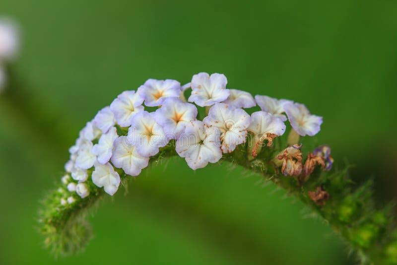 Цветок indicum Heliotropium стоковое фото