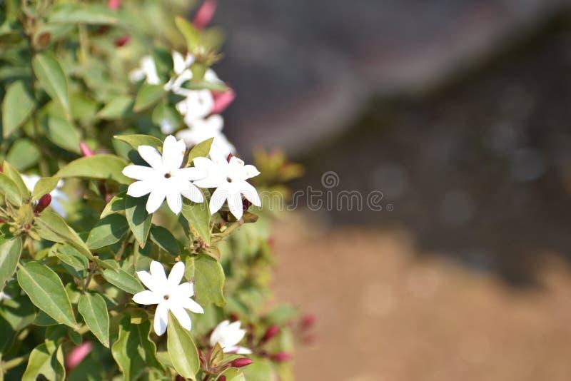 Цветок Juhi стоковые изображения