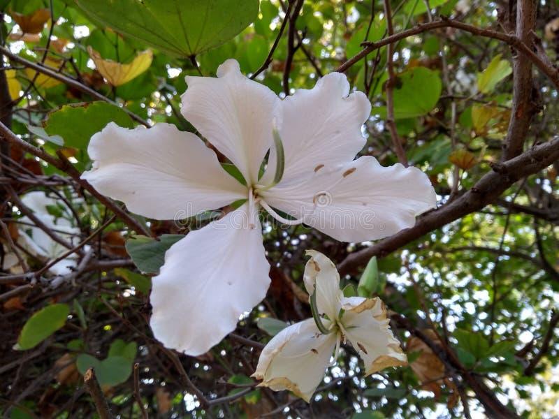 Цветок Kachanaar стоковое изображение rf
