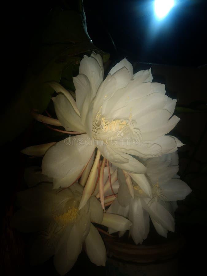 Цветок kamala Brahma стоковое изображение