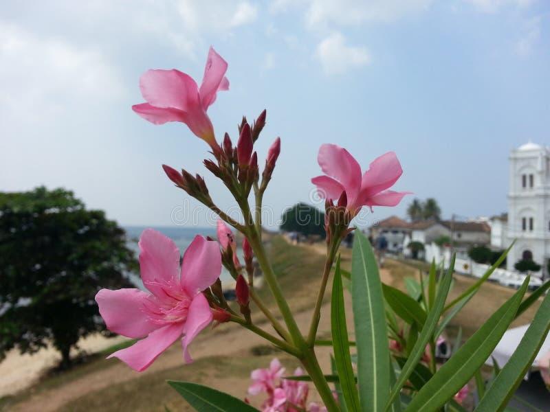 Цветок ` kaneru ` олеандра Nerium природы Шри-Ланки стоковые изображения