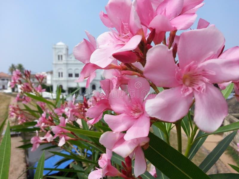 Цветок ` kaneru ` олеандра Nerium природы Шри-Ланки стоковая фотография