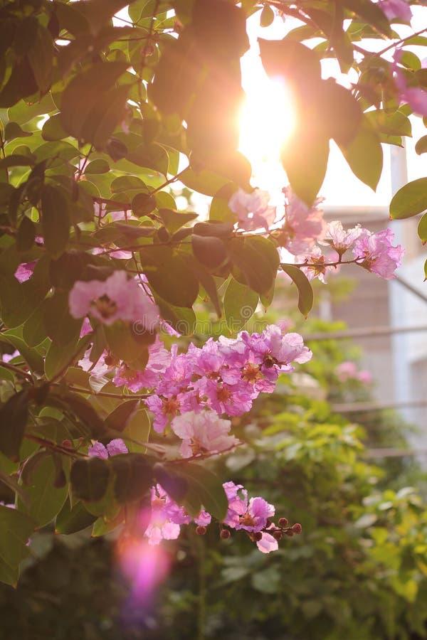 Цветок Lagerstroemia стоковые фотографии rf