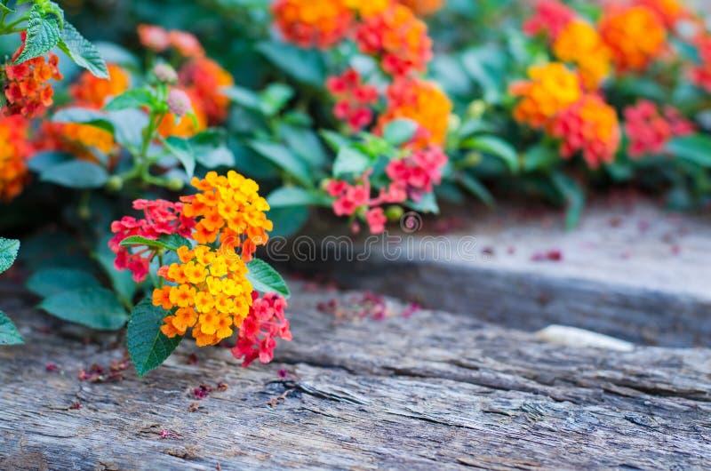 Цветок Lantana на деревянной земле стоковая фотография rf