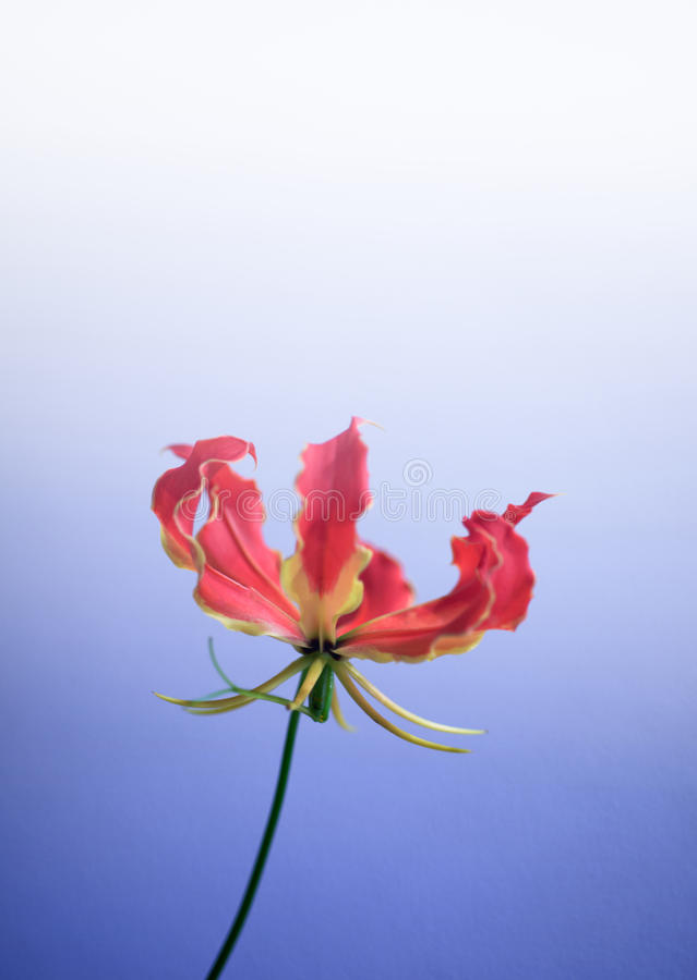 Цветок leichtlinii лилии стоковое фото rf
