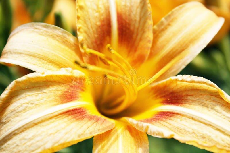Цветок Lilia стоковое изображение