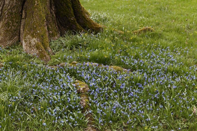 Цветок Lithodora небесный голубой стоковые фото