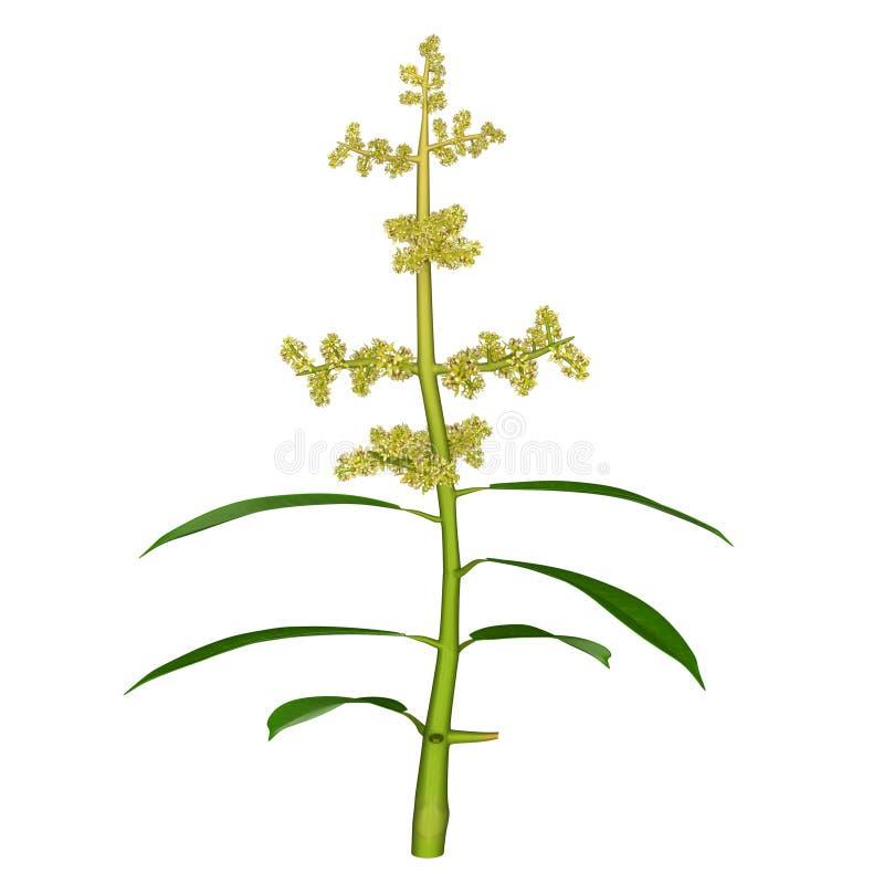Цветок Mangifera иллюстрация штока