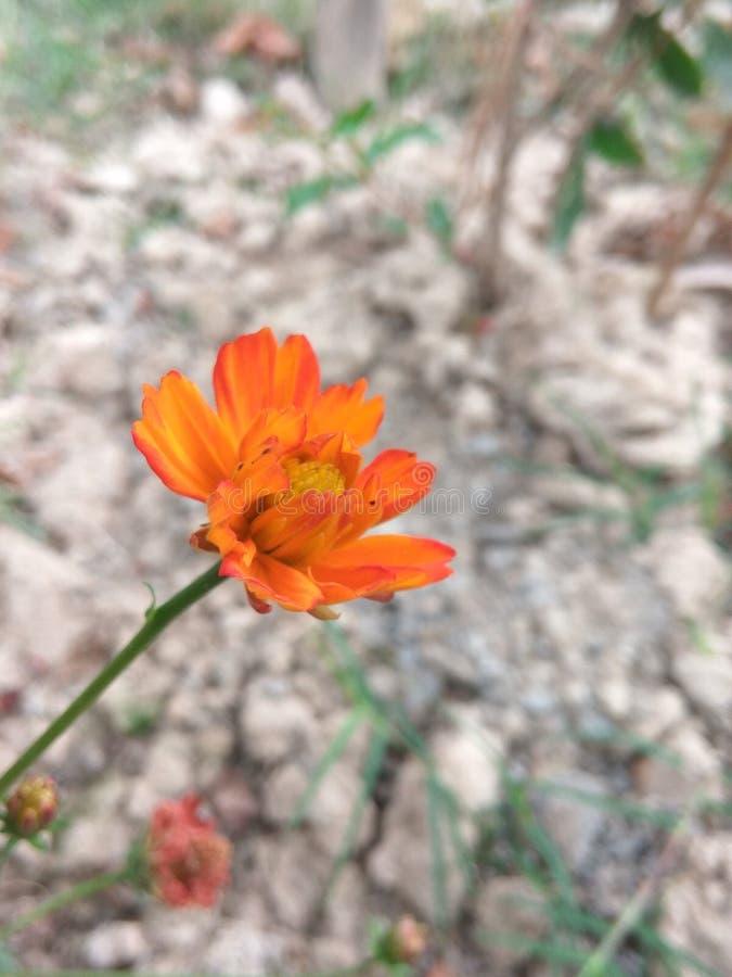 Цветок Marrygold стоковое изображение rf