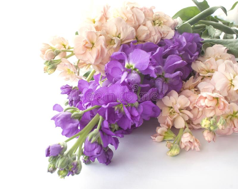 Цветок Matthiola стоковые фотографии rf