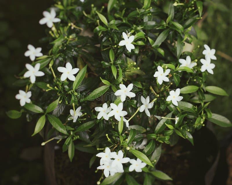 Цветок Melati стоковое изображение rf