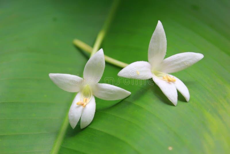 Цветок Millingtonia стоковые фотографии rf