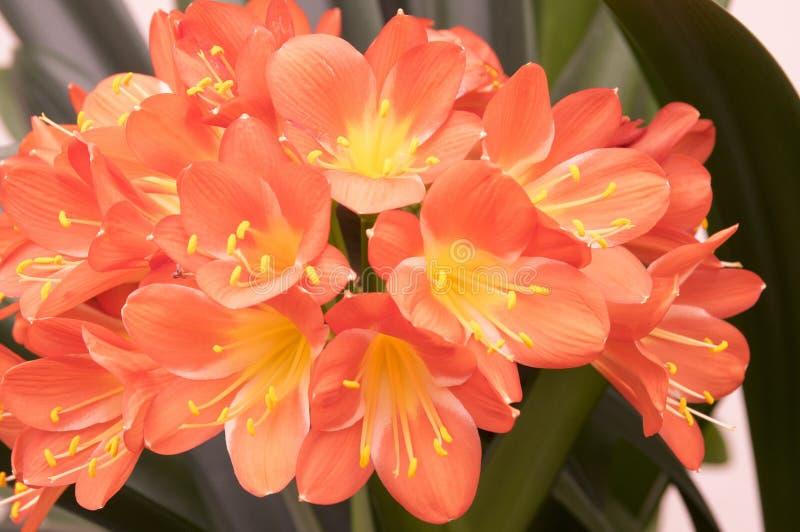 Цветок miniata Clivia оранжевый орнаментальный тропический, пук цветков стоковая фотография