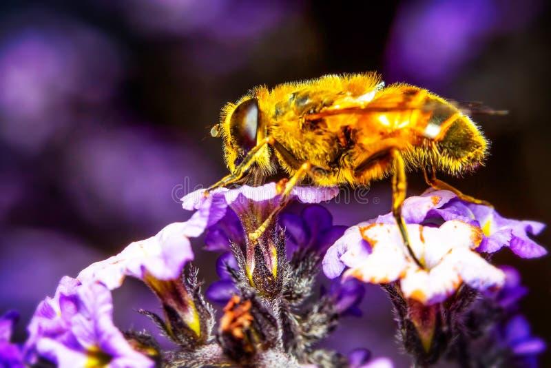 Цветок Myathropa Florea с пчелой стоковые изображения rf