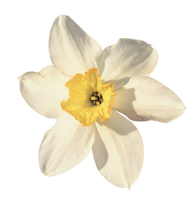 Цветок Narcissus стоковое изображение