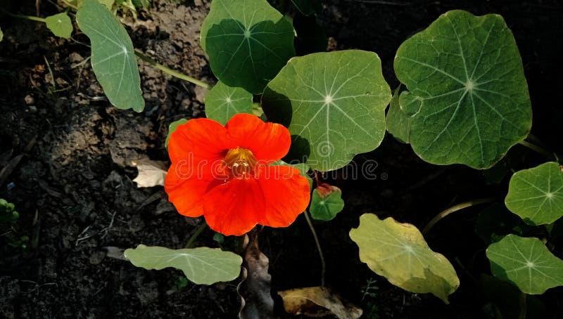 Цветок Nastutrium оранжевый, обои предпосылки крупного плана стоковые изображения