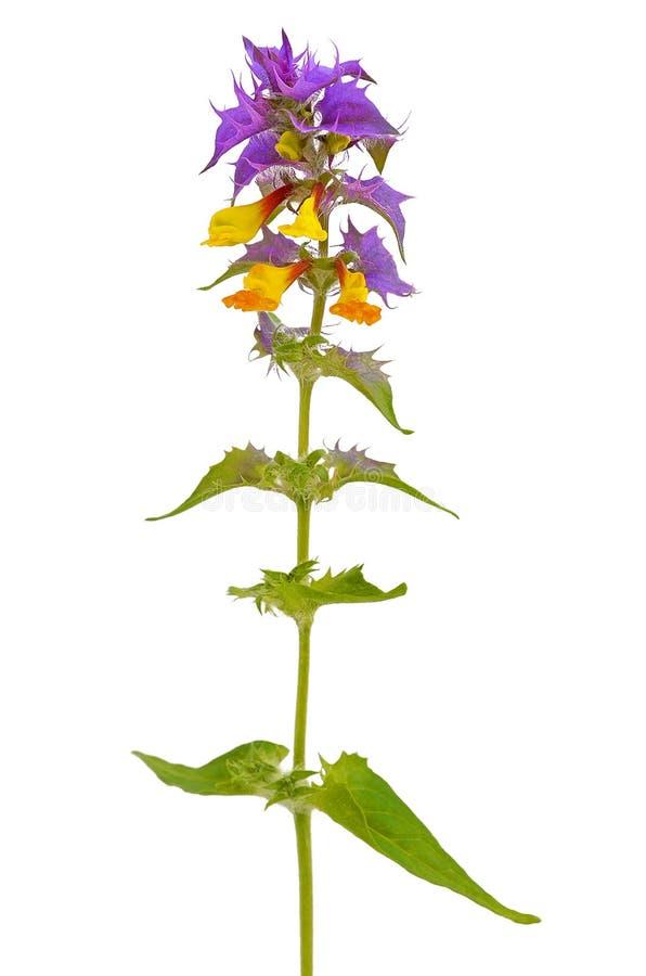 Растение иван да марья раскраска