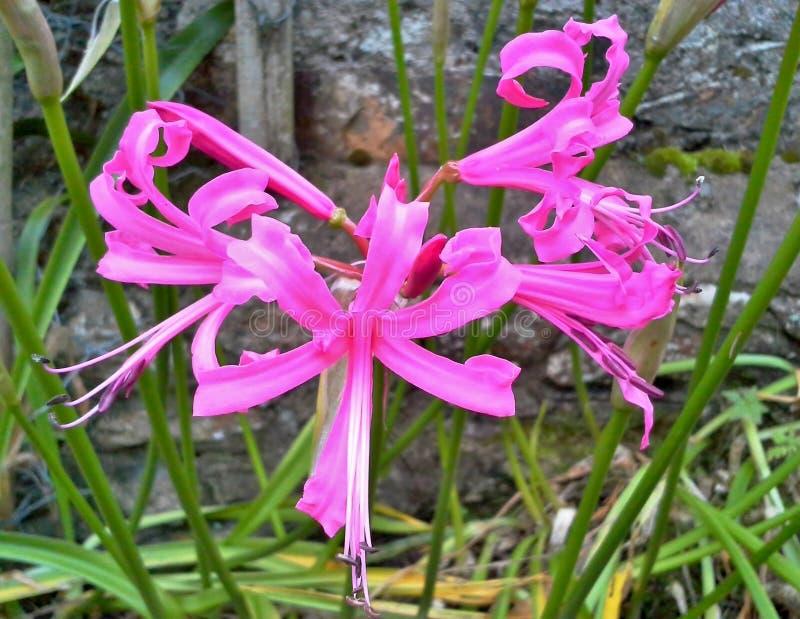 Цветок Nerine стоковое изображение rf