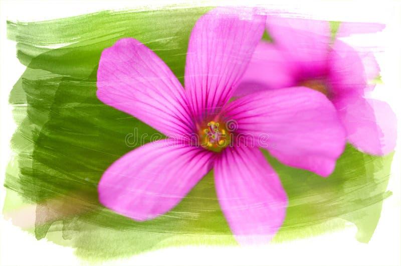 Цветок Oxalis Watercolour стоковые фотографии rf