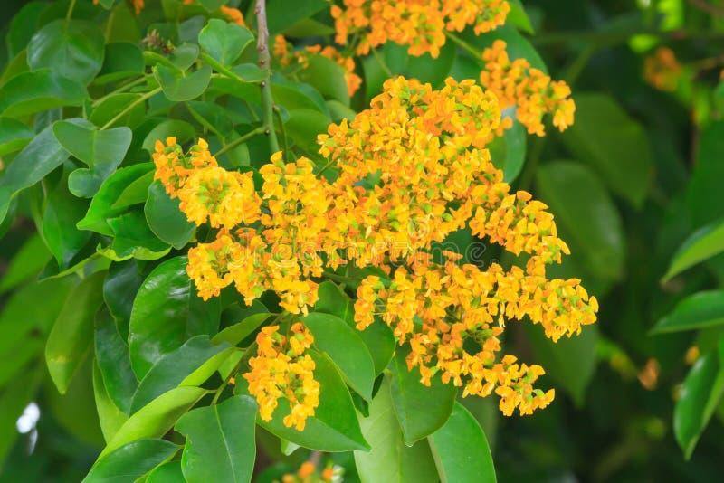 Цветок Padauk или цветок Papilionoideae, символ королевского стоковое изображение rf