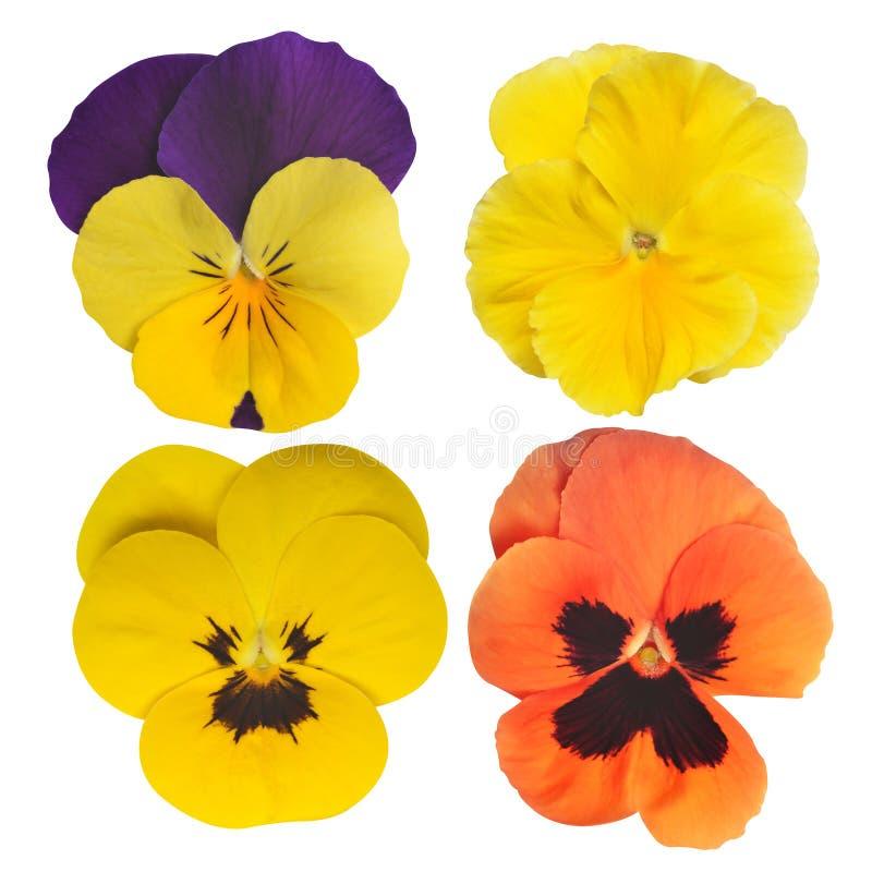Цветок Pansies стоковое изображение