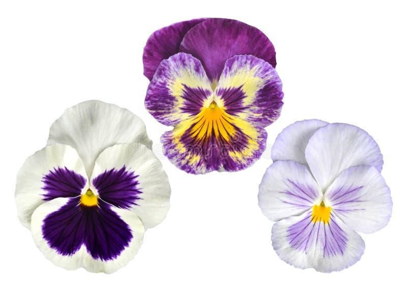 Цветок Pansies стоковая фотография rf