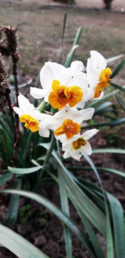 Цветок Pansy белый, обои предпосылки крупного плана стоковое изображение rf