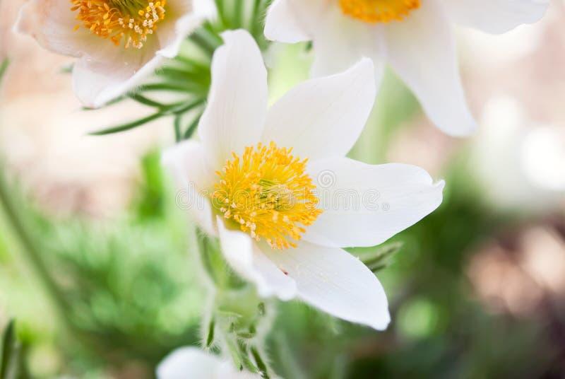 Цветок Pasque весны стоковая фотография