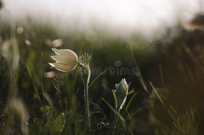 Цветок Pasque зацветая на утесе весны на заходе солнца стоковые изображения rf